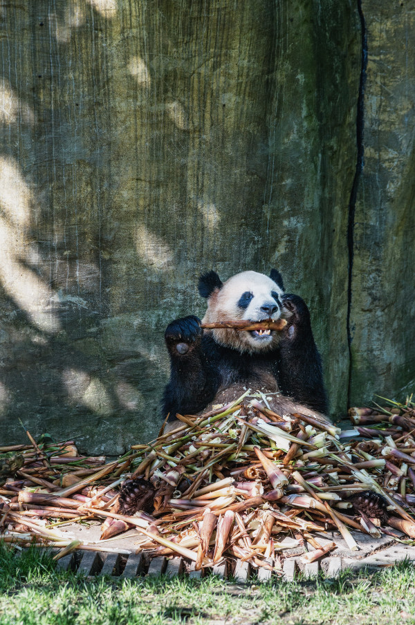 Sichuan_panda_2
