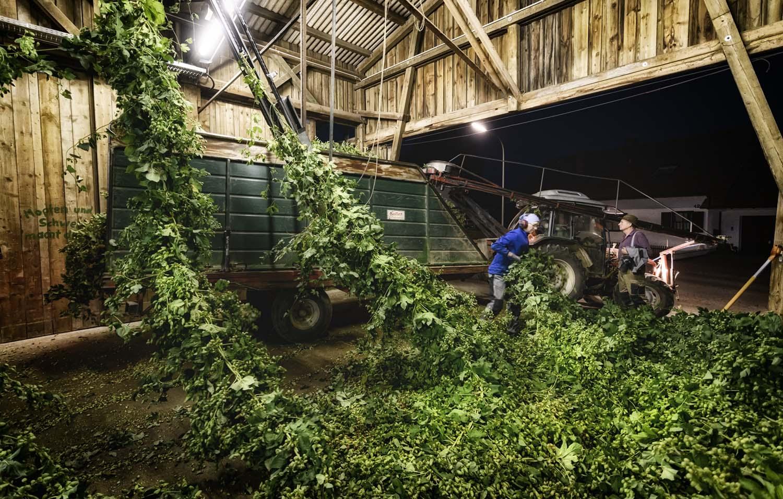 Hopfenreben werden in die Hopfenpflückmaschine per Hand eingehängt