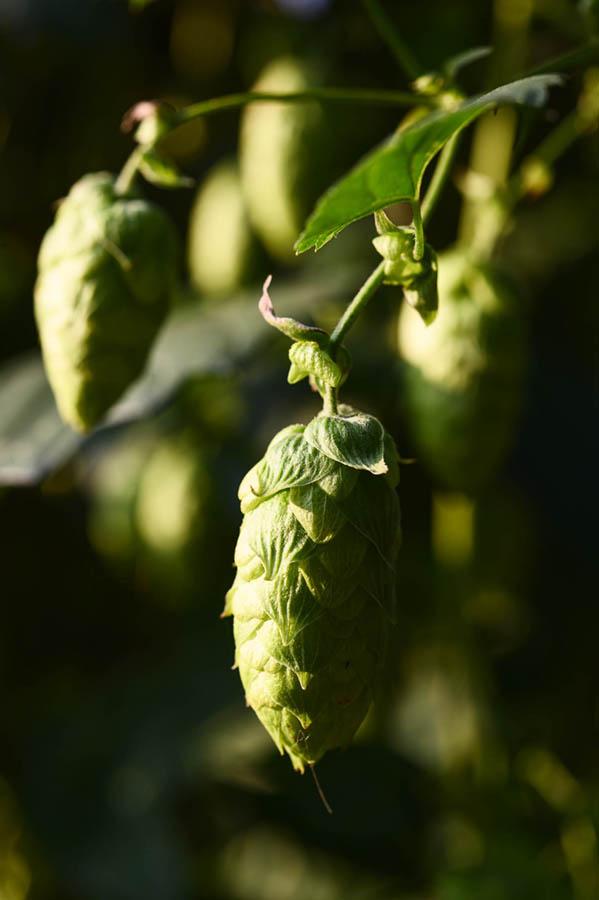 hallertau_hop_beer_bavaria_linkel_DSC8894