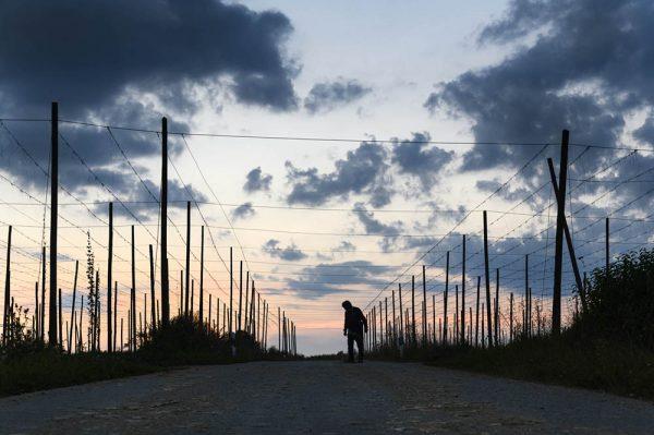 hallertau_hop_beer_bavaria_linkel_DSC8944